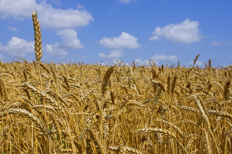 Wheat field. cereals. harvest on an agricultural field. agrarian sector of production.  stock photo