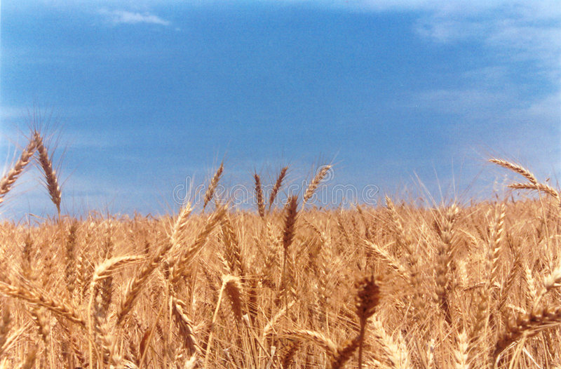 Wheat field classic stock photography