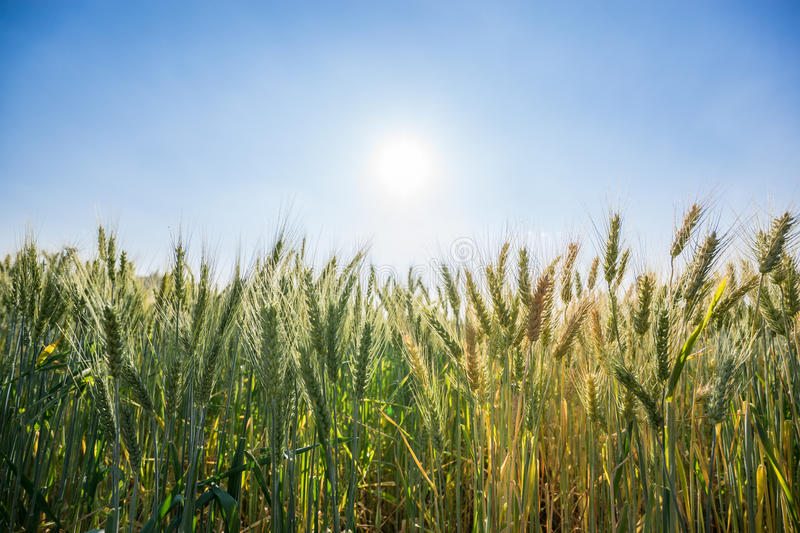 Wheat field with clear blue sky background. Wheat field before harvesting season with clear blue sky background royalty free stock images