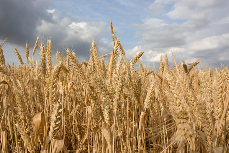 Wheat field close-up royalty free stock images