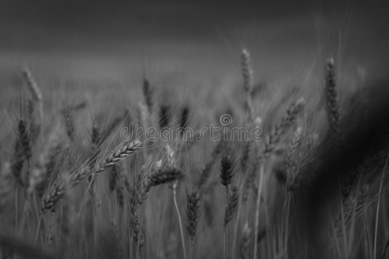 wheat field. close-up. stormy weather summer time. royalty free stock image