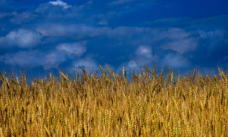Wheat field with clouds royalty free stock image