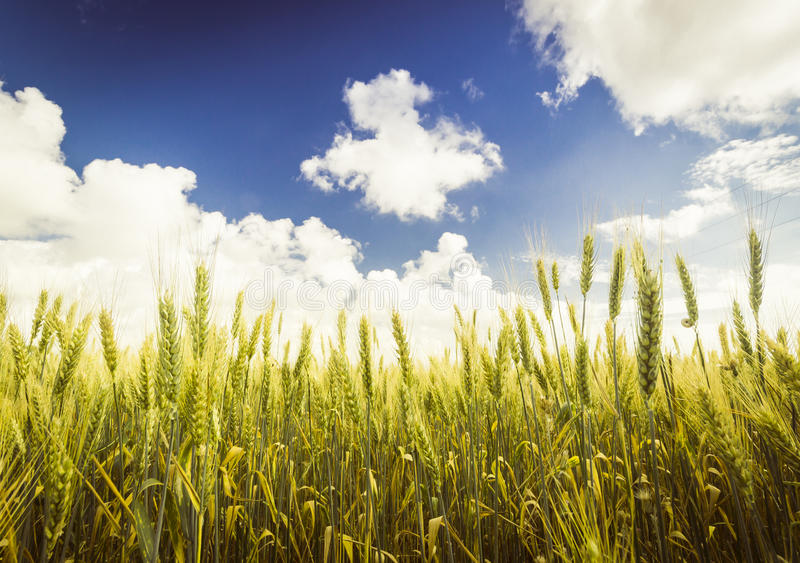 Wheat field. Colours of nature. Blue and yellow royalty free stock photo
