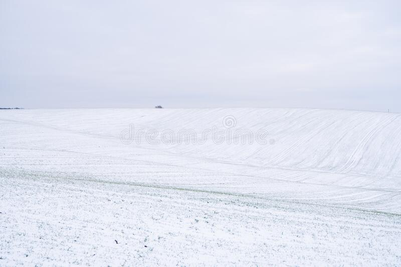 Wheat field covered with snow in winter season. Winter wheat. Green grass, lawn under the snow. Harvest in the cold stock image