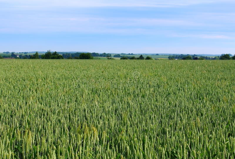 Download Wheat Field, Cultivation Of Cereals Stock Photo - Image: 26818352