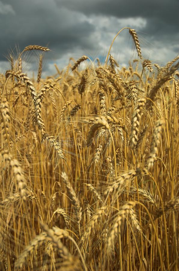 Free Stock Photo  Wheat Field And Dark Sky Picture. Image  5857175 306c6bc247f