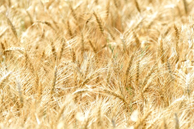 Wheat field detail background stock photography