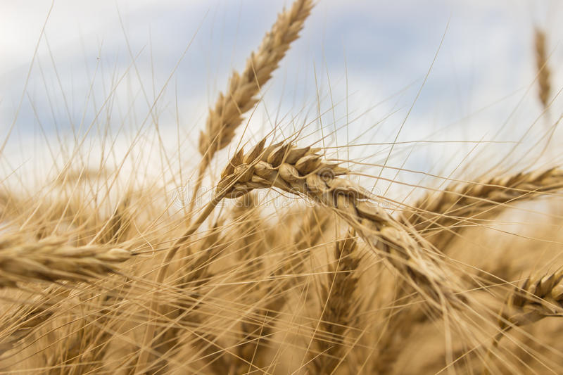 Wheat field-2 stock photography