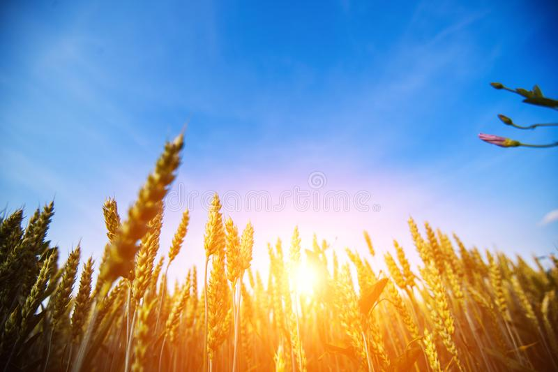 Wheat field. Ears of golden wheat close up. Beautiful Nature Sunset Landscape stock images