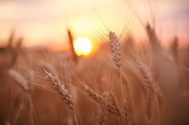 Wheat field. Ears of golden wheat close up. Beautiful Nature Sunset Landscape. Rural Scenery under Shining Sunlight. Background of stock photo
