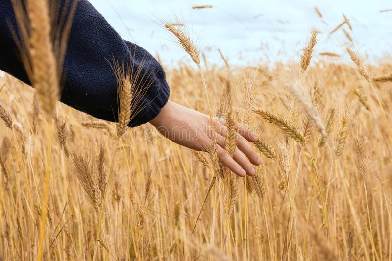 Wheat field. Ears of golden wheat close up. Beautiful Nature Sunset Landscape. Rural Scenery under Shining Sunlight. Background of. Ripening ears of meadow stock photos