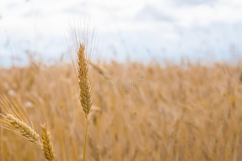 Wheat field. Ears of golden wheat close up. Beautiful Nature Sunset Landscape. Rural Scenery under Shining Sunlight. Background of. Ripening ears of meadow royalty free stock image