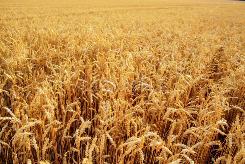 Wheat field. Ears of golden wheat close up. Beautiful Nature Sunset Landscape. Rural Scenery under Shining Sunlight. Background of stock image