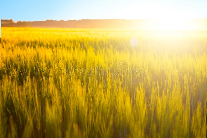 Wheat field. Ears of golden wheat on nature sunset landscape stock photography