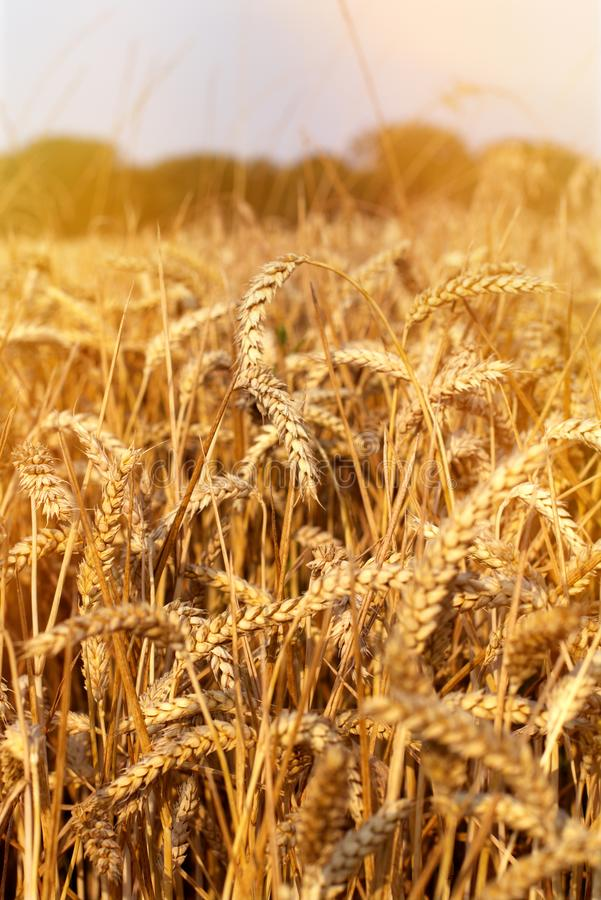 Wheat field. ears of grain. Aisne, Picardy, North of France. stock photo