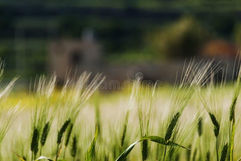 Wheat field in evening sunlight stock photo