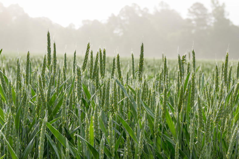 Wheat field on Foggy Morning stock photography