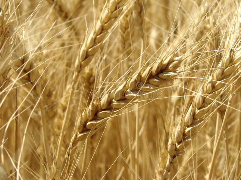 Wheat field fragment stock photos