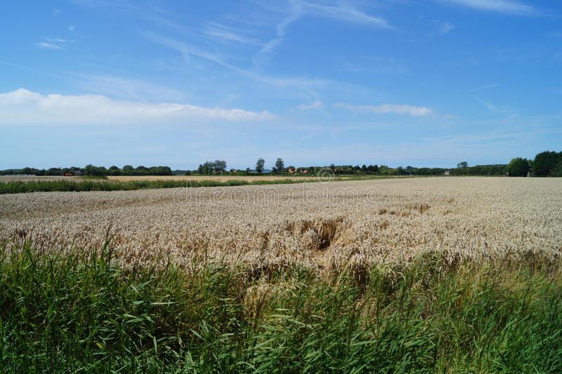 Wheat field in France. A generic wheat field located in France royalty free stock image