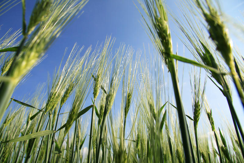 Wheat field from frog perspective. From below, photographed against a blue sky royalty free stock images