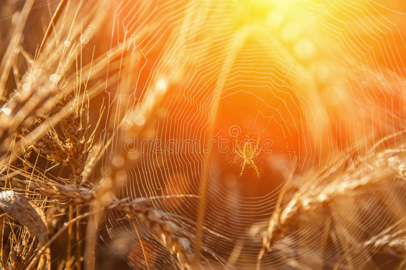 Wheat field with a glint of the sun. Golden ears of wheat or rye. Whole grains close-up. The idea of a rich harvest. Label design royalty free stock image