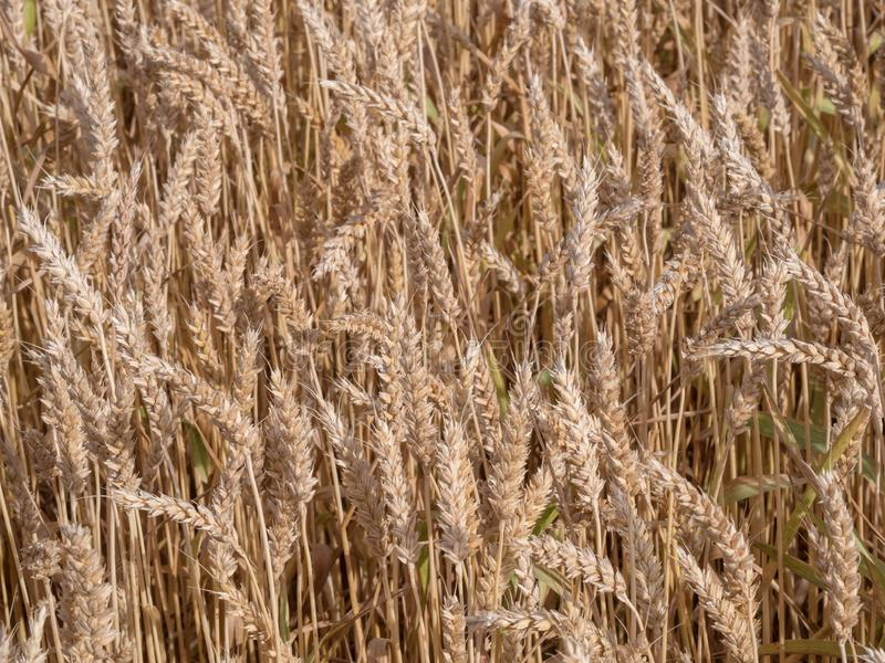 Golden wheat field ready to harvest stock photos