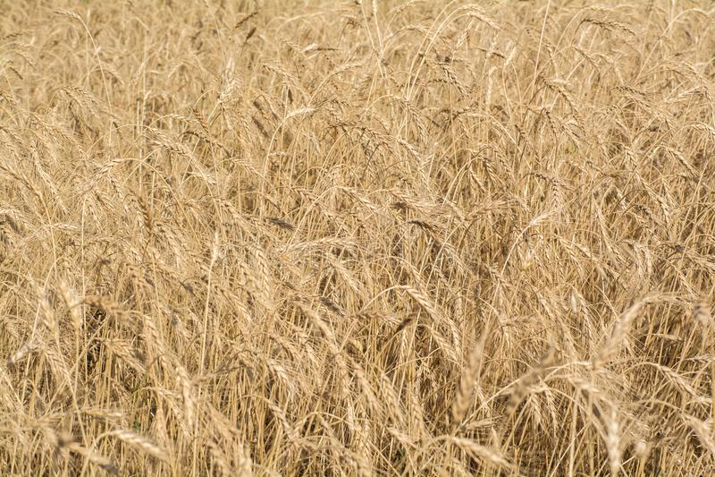 Wheat field. Golden grain of wheat royalty free stock images