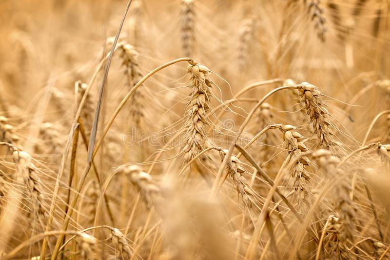 Wheat field - golden grain of wheat, beautiful crop field royalty free stock images