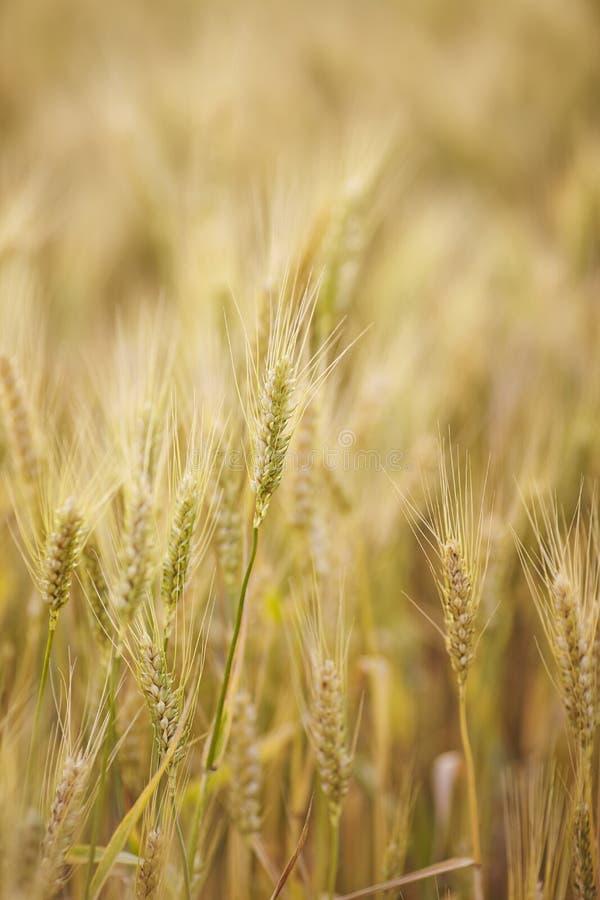 Wheat field. stock image