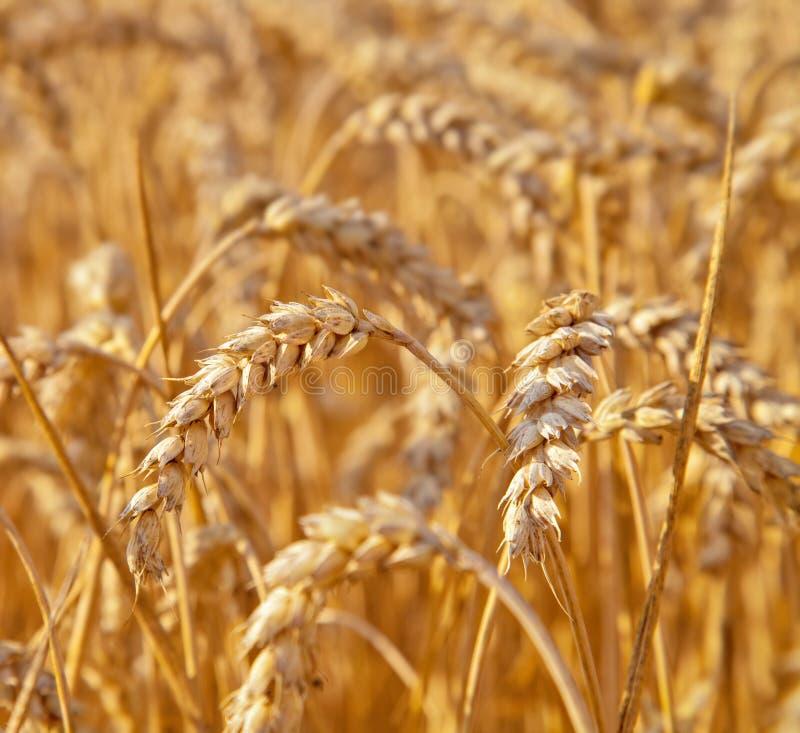 Wheat field. Golden wheat field in summer royalty free stock photo