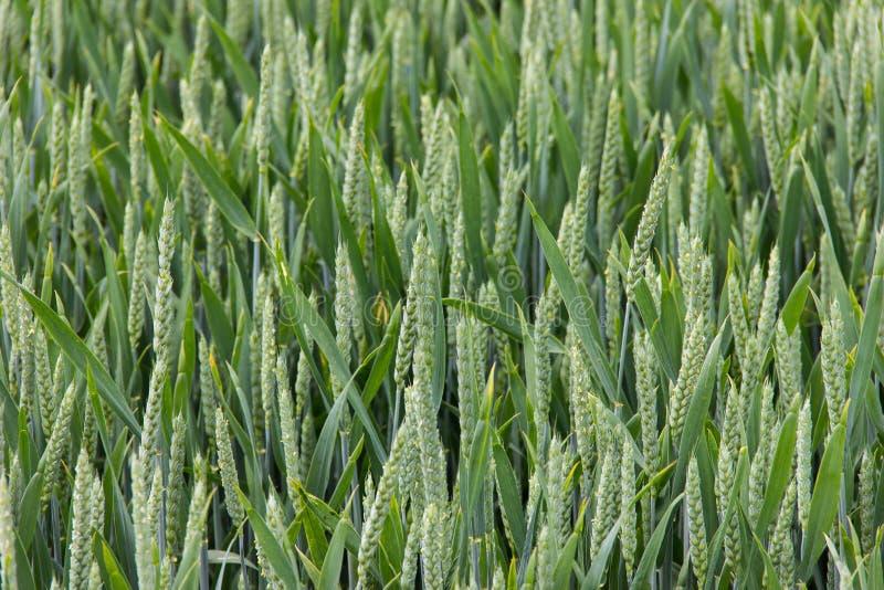 Wheat field green background nature. Wheat field green background background details shot royalty free stock image