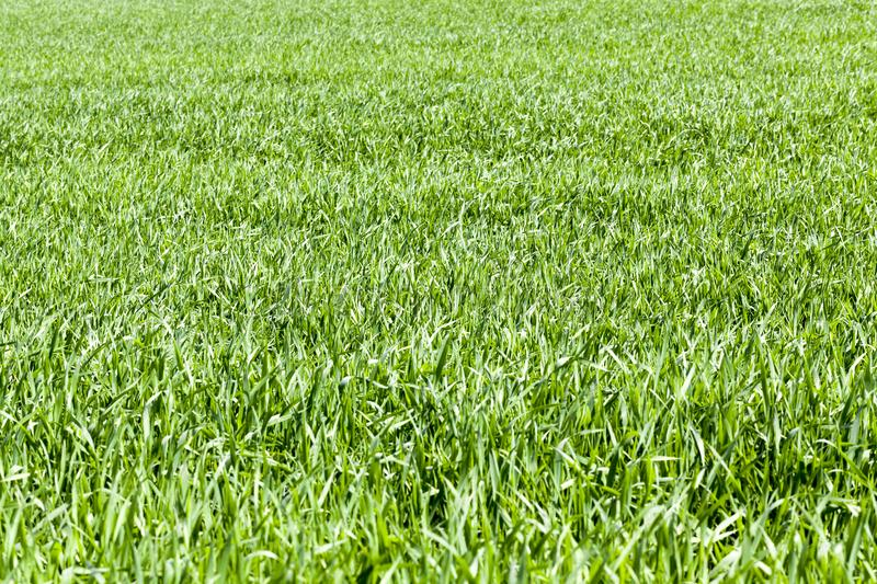 Wheat field. With green sprouts of wheat in early summer or late spring, agricultural stock image