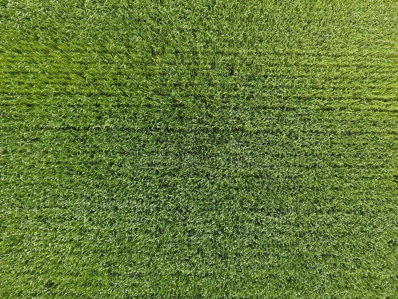 The wheat field is green. Young wheat on the field. View from above. Textural background of green wheat. Green grass. stock photo