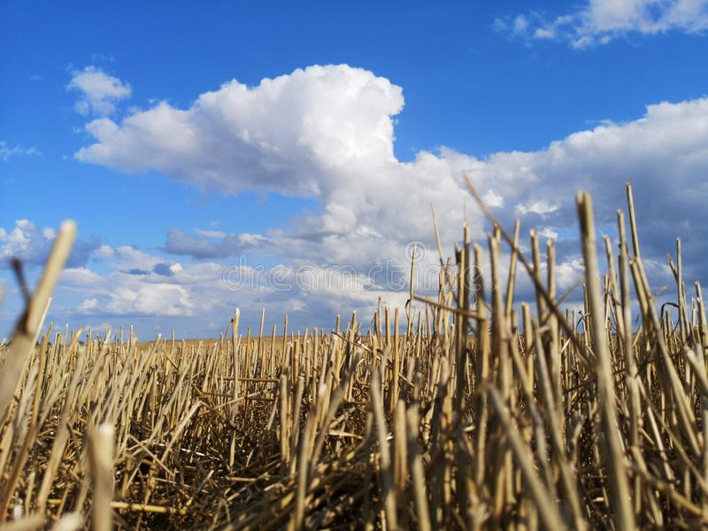 Wheat field after harvesting with stubble and summer clouds stock photos
