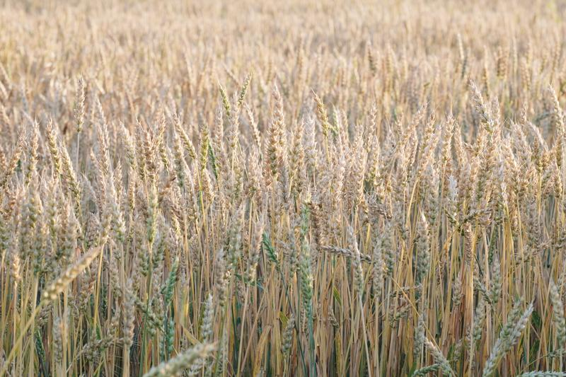Wheat field without horizon, in the foreground wheat spikelets in summer yellow, natural vibrant colors royalty free stock photography