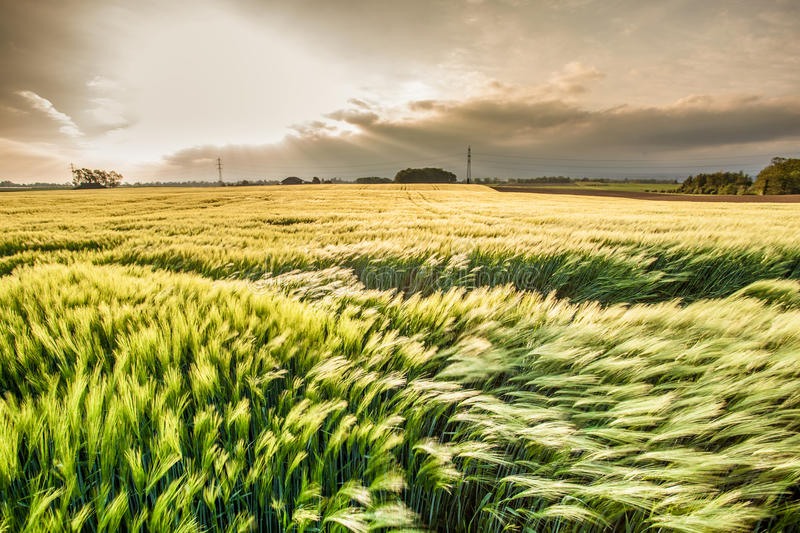 Wheat Field III stock photography