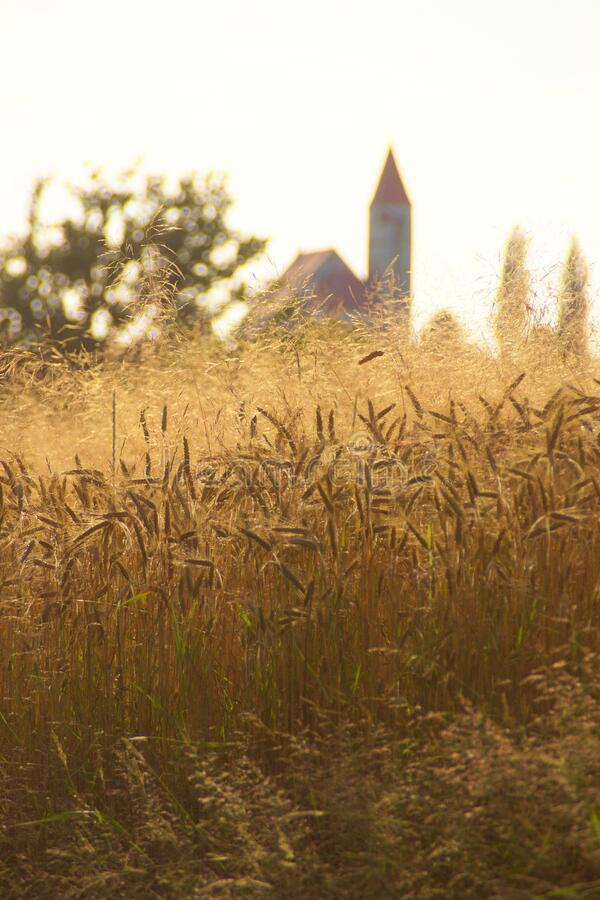 Free Wheat Field In Summer Afternoon Stock Photo - 191222240