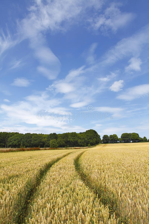 Download Wheat field landscape stock image. Image of produce, tracks - 24502221