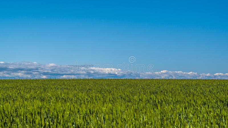Wheat field landscape on a beautiful day royalty free stock photo