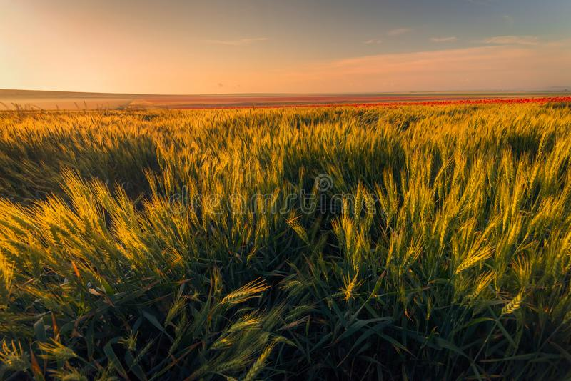 Wheat field in the morning with poppies in the background royalty free stock photos