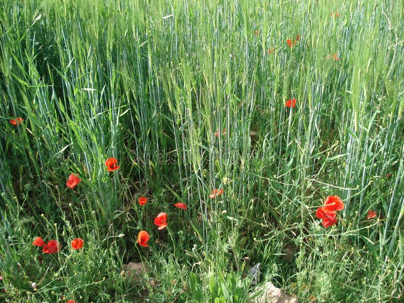 Wheat field in Morocco. Close-up of the wheat field with some Red crown anemones grown on the sides of the field stock image