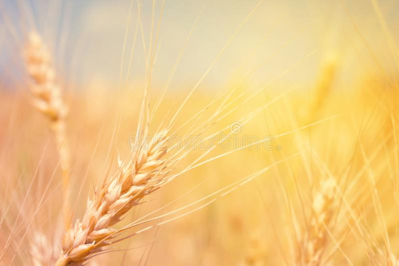 Wheat field natural product. Spikelets of wheat in sunlight close-up. Summer background of ripening ears of agriculture landscape royalty free stock photo