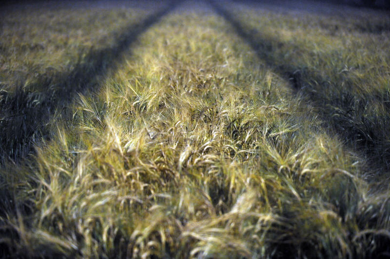 Download Wheat field at night stock photo. Image of ears, farm - 25214114