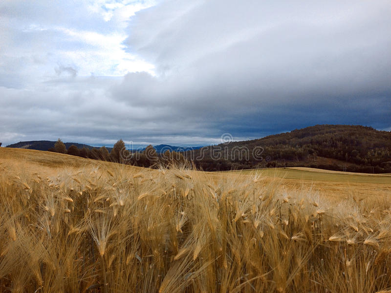 Wheat in the field in norway. With the view over the mountain and the sky stock photos