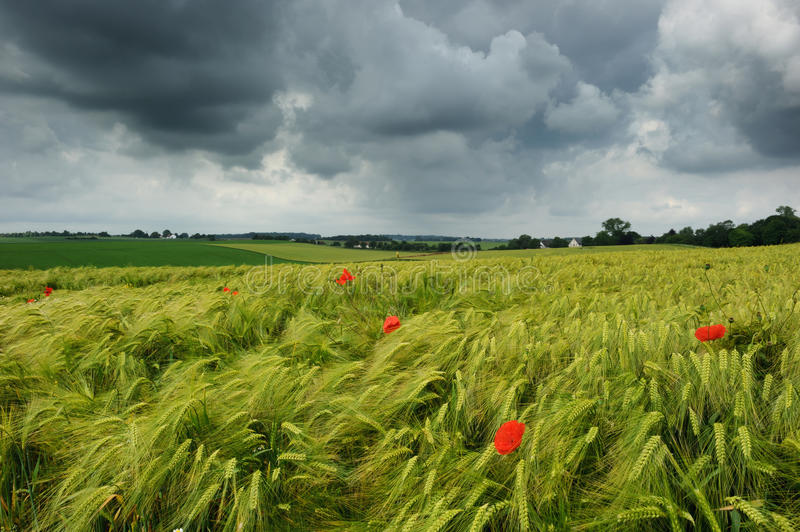 Wheat field with poppies. At cloudy summer day royalty free stock photography