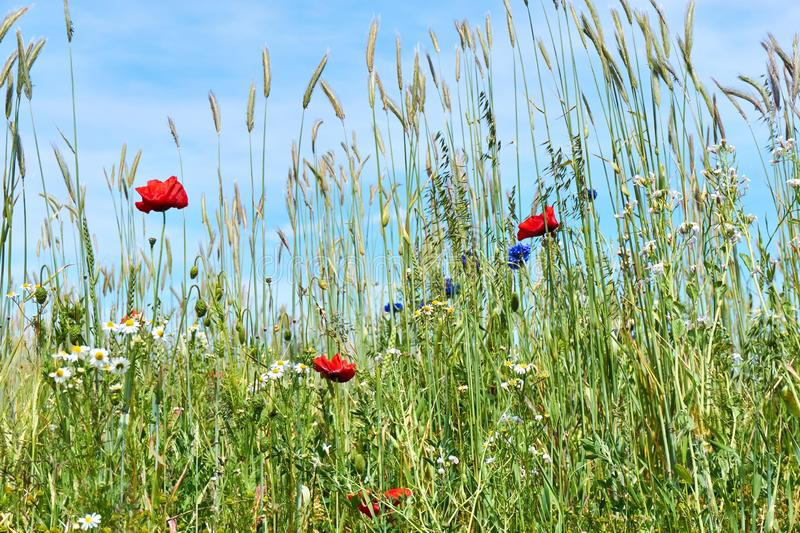 Wheat field with poppies cornflowers and daisies royalty free stock photo