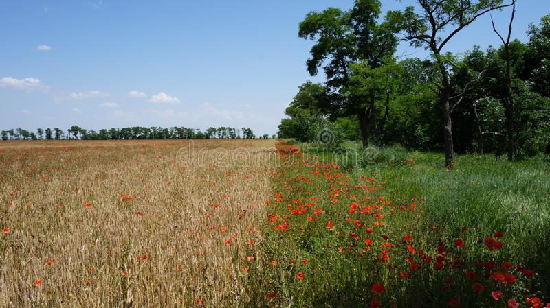Field of wheat and field of poppies stock images