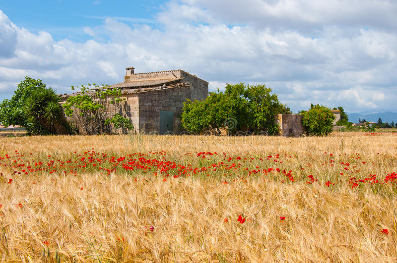 Wheat Field with Poppies stock photos