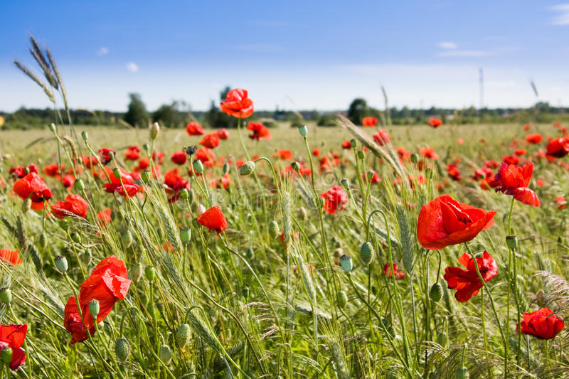 Download Wheat Field And Poppies In Summer Stock Photo - Image: 14782280