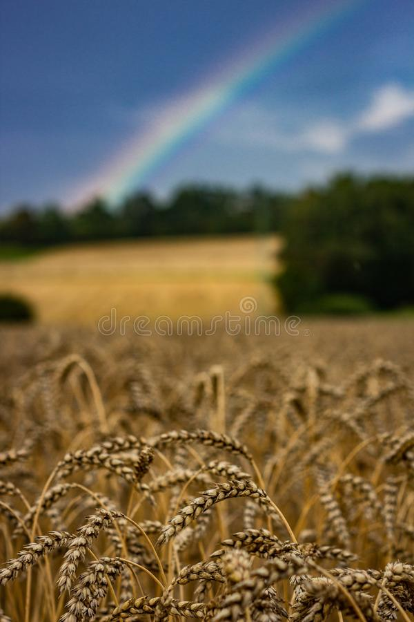 Wheat field with a rainbow in the background. And a blue sky is perfect for a banner royalty free stock photo